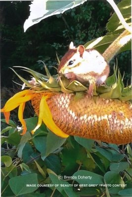 bwg_Summer-2017-chipmunk-on-sunflower-bd