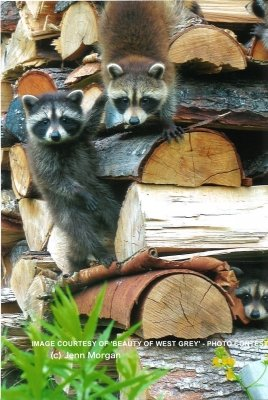 bwg_Summer2017-raccoons-on-woodpile-jm