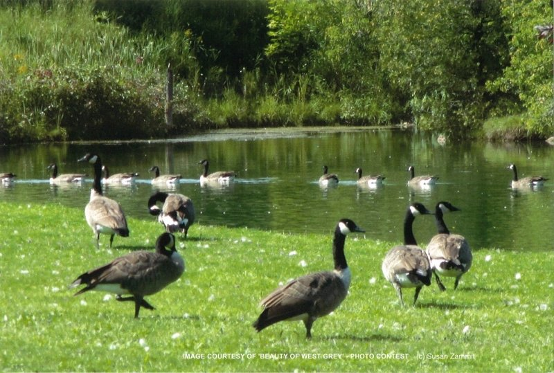 bwg_Summer-2017-geese-on-conc2-sz