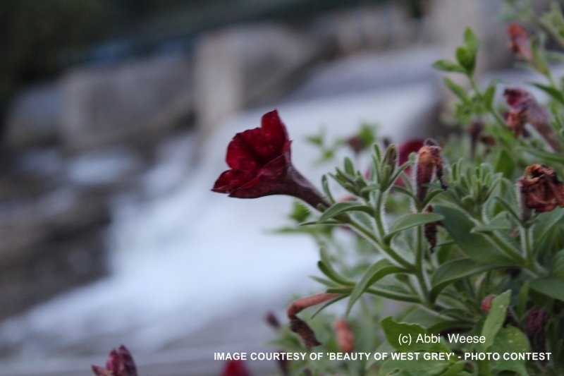 bwg_Summer2017-flower-at-mcg-falls-aweese