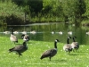 bwg_Summer 2017 geese on conc2 sz