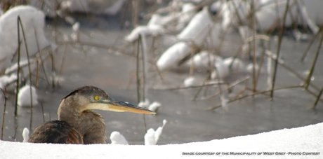 Heron-in-snow-cr